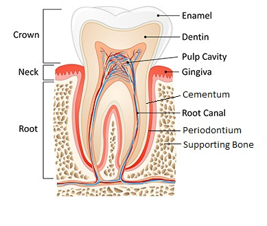 Dental pulp anatomy