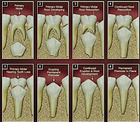 Process of permanent tooth eruption